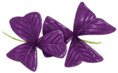 oxalis_detail.png
